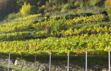 Autumnal vineyard along the Rablander Panormaweg in the vicinity of Merano.